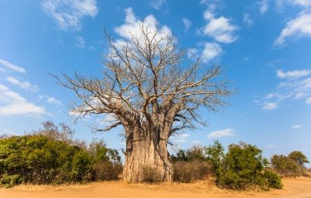 baobab tree copy